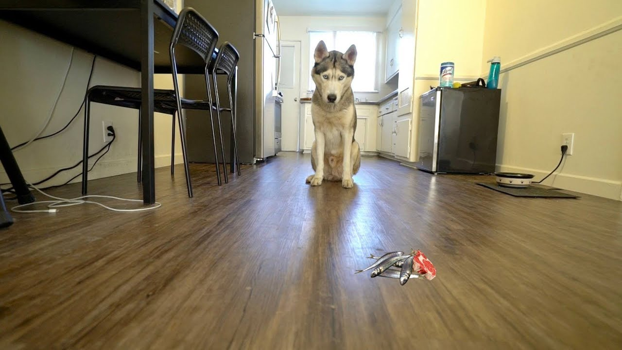 How Long Will My Husky Stay For Without Grabbing Treats?