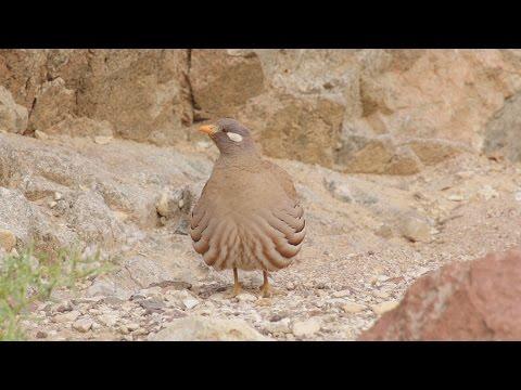 Partridge bird, Sand Partridge brawl, Partridge fight, Birds fighting קורא מדברי בקטטה