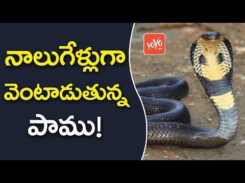 నాలుగేళ్లుగా వెంటాడుతున్న పాము! | Snake Revenge For 4 Years |  YOYO TV Channel