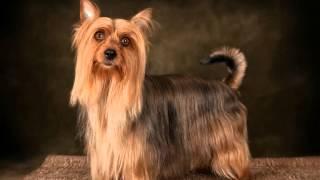 """Копия видео """"Копия видео Australian silky terrier - Riga.Австралийский шелковистый терьер"""""""