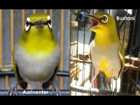 Perbedaan secara fisik Buxtoni dan Auriventer