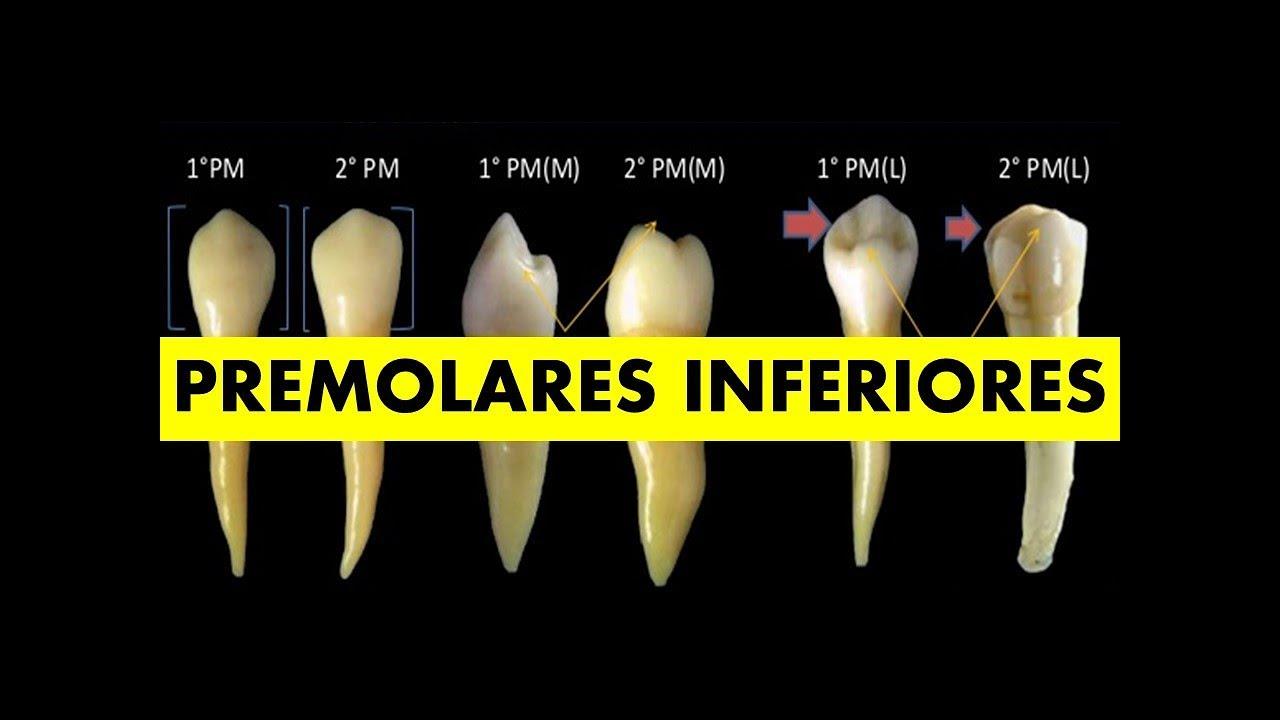 PREMOLARES INFERIORES\