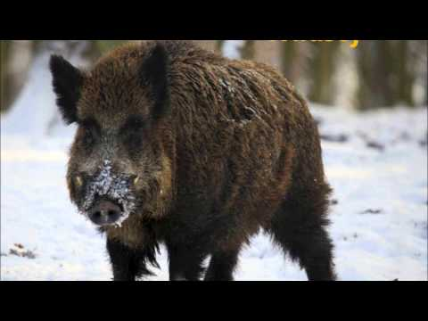 Alsatian (Alemannic) - Animals