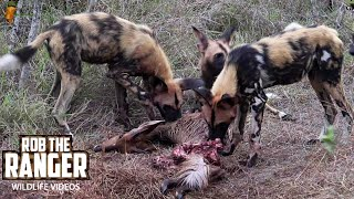 African Wild Dogs Chase Giraffe, Eat Bushbuck, And Drink With Croc (4k Video)