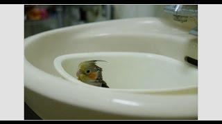 玄鳳鸚鵡【小鐵】洗澡