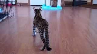 Zuko my Asian Leopard Cat.