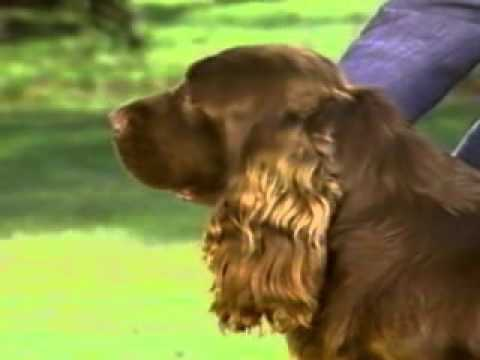 Sussex Spaniel - Chapter 2