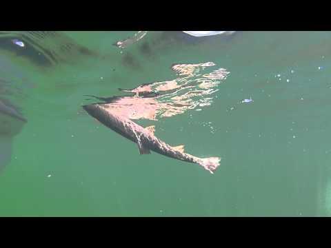 underwater fishing Yellowstone
