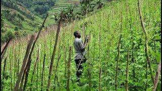 Green Beans Farming & Harvesting - Double Beans,Field Beans Farming