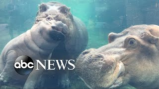 Baby hippo reunited with her family