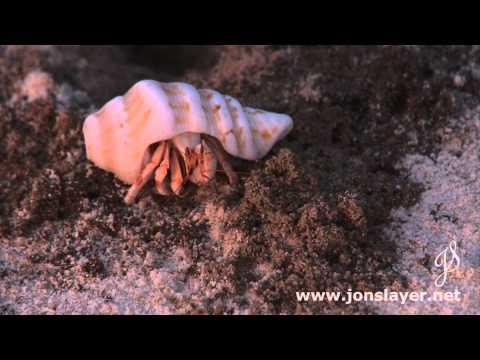 Diego Garcia small Hermit Crab feeding