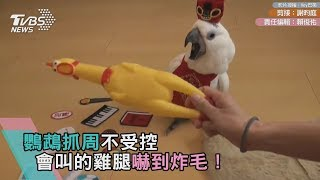 鸚鵡抓周不受控 會叫的雞腿嚇到炸毛!