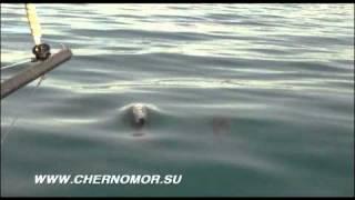Дельфины в Черном море крупным планом (съемка с яхты)