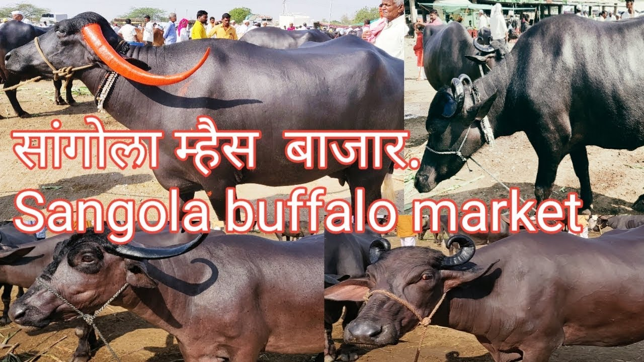 सांगोला म्हैस बाजार  Sangola buffalo market