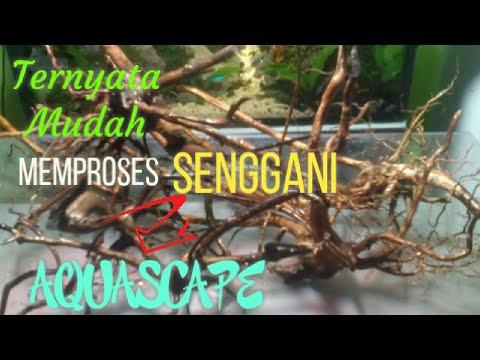 proses-akar-senggani-untuk-bonsai-aquascape-#07