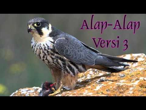 DOWNLOAD SUARA MASTERAN BURUNG ALAP-ALAP VERSI 3 FULL HD