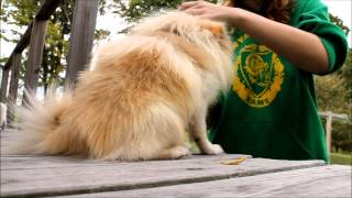How To Properly Brush Your Pomeranian