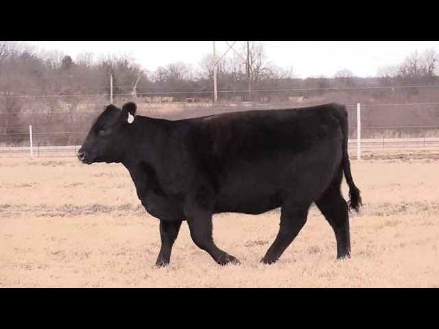 Missouri Angus Futurity Lot 48