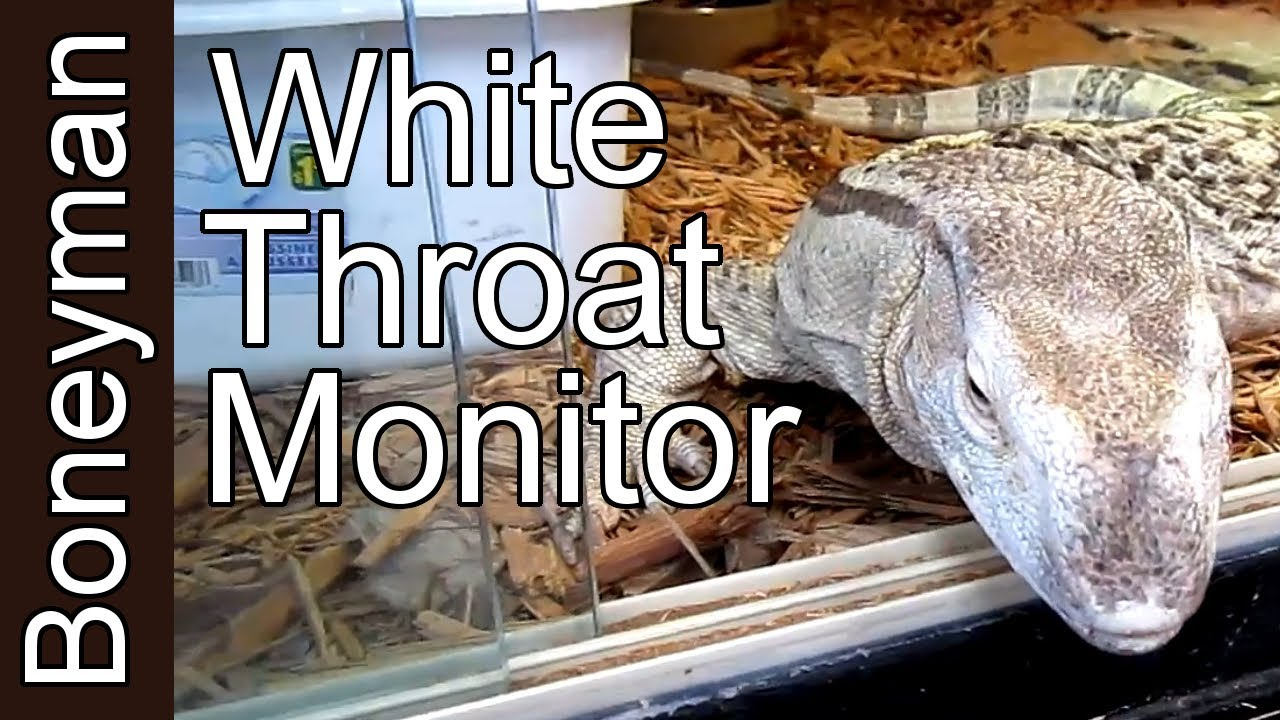 White Throat Monitor Lizard Some Basic Info For You People Youtube