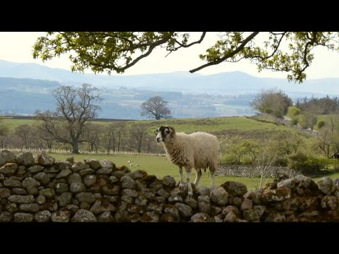 Sheep Escaping - And Lamb As Well - Over The Wall.