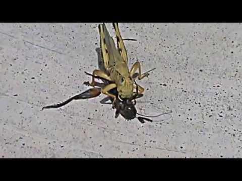 What Do Grasshoppers Eat - Grasshopper Diet - Kidz Feed