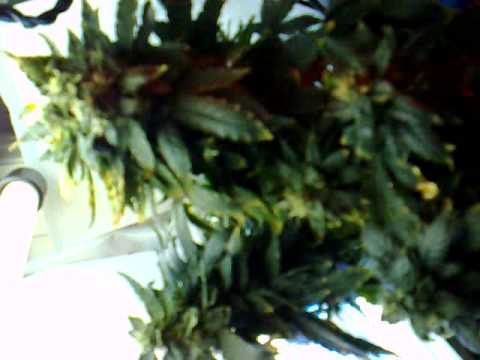 Red Dwarf Buddha Seedbank Day 70 Aerogarden Cannabis