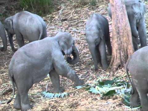 ช้างป่าภูวัว