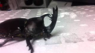2011年8月初旬、山梨県某所にて外灯廻りで捕獲した個体です。