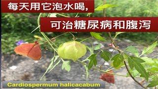 小果倒地铃的作用和功效.Cardiospermum halicacabum health benefits.Manfaat Paria gunung.