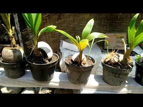 Koleksi Calon Bonsai Kelapa Sistem Sayat Mawar Tebas Dan Nungging