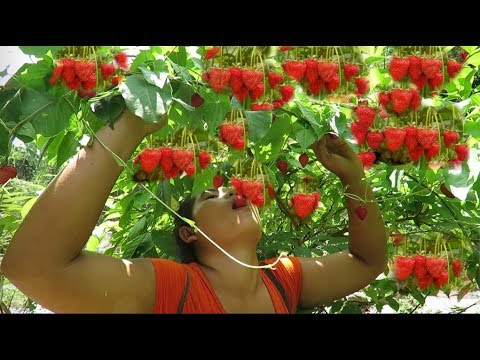 Survival skills Natural Finding strawberry fruit Food For   eating delicious