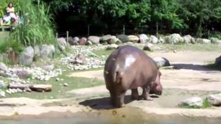 World's Biggest Fart   The Hippo