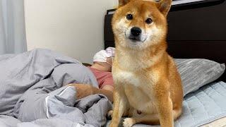 横になる飼い主を介抱する柴犬。