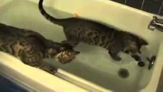Коты Биба и Боба два ...