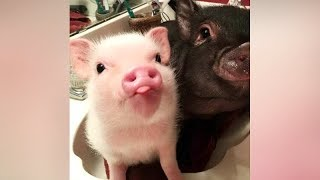 PIGS are the NEW TOP FUNNY ANIMALS! - LAUGH NOW!