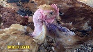 El Pollo Pelón (Gallina Piroca)