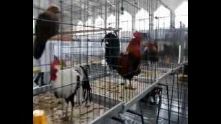 XIV Wystawa Gołębi Rasowych i Drobnego Inwentarza Chełmża 2013