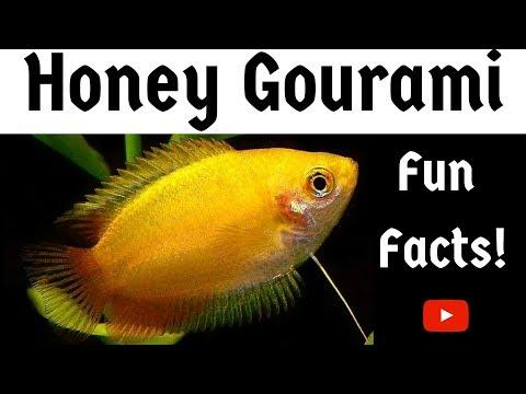 Honey Gourami Fun Facts