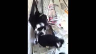 Playful Terri-Poo Pups