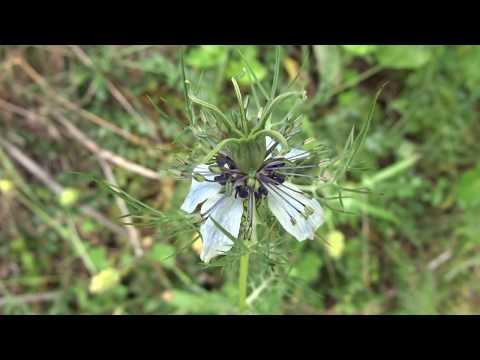 Flor de arañuela: Nigella damascena (www.riomoros.com)