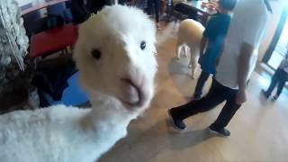Cute Alpaca Cafe in Taiwan and what to expect at Shiling night market