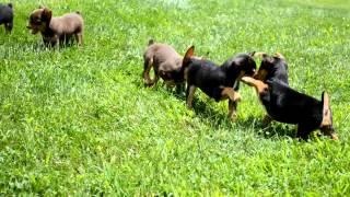 Yorkshire Terrier Mixes