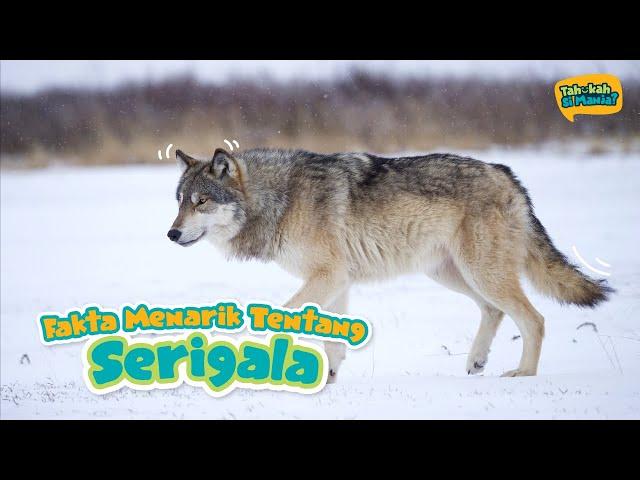Tahukah Si Manja Eps 9 - Serigala
