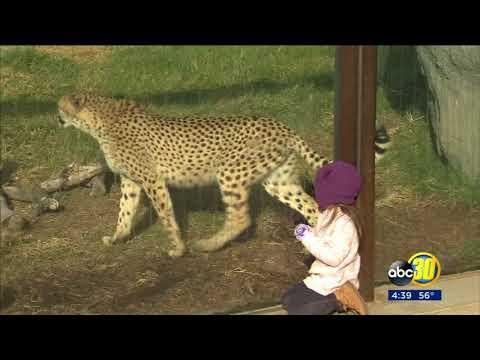 Fresno Chafee Zoo is celebrating International Cheetah Day