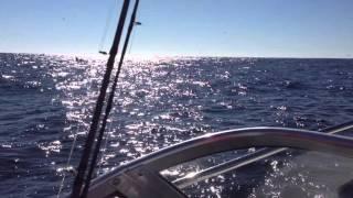 Monterey Bay Killer Whale Pod Hunting and Killing Some Prey!