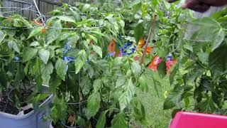 July 28th 2020 Garden Harvest Part 1
