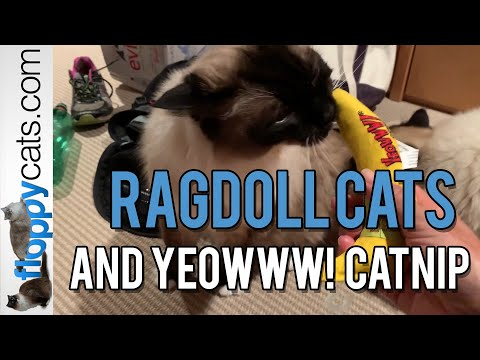 Yeowww! Catnip Effects On Ragdoll Cats: Charlie, Caymus And Trigg