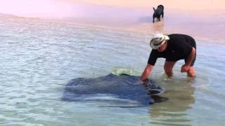 Giant Stingray Parrie in Struisbaai Teil 4