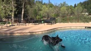 German Shepherd Jumping In Pool