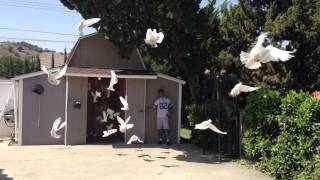 Very Very Large Dove Release YouTube Videos